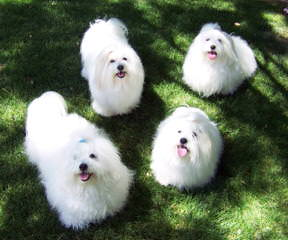 Showboat  Coton de tulear - Dog Breeders