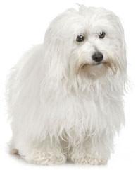Showboat  Coton de tulear - Dog Breeders