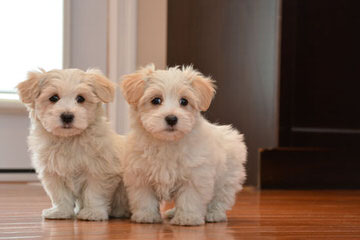 Town & Country Cotons - Dog Breeders