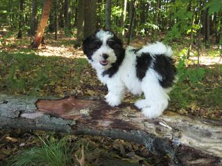 Cadeaux's Coton De Tulear - Dog Breeders