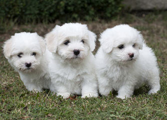 Cuddly Cotons - Dog Breeders