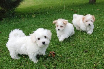 Mountainaire Cotons - Dog Breeders