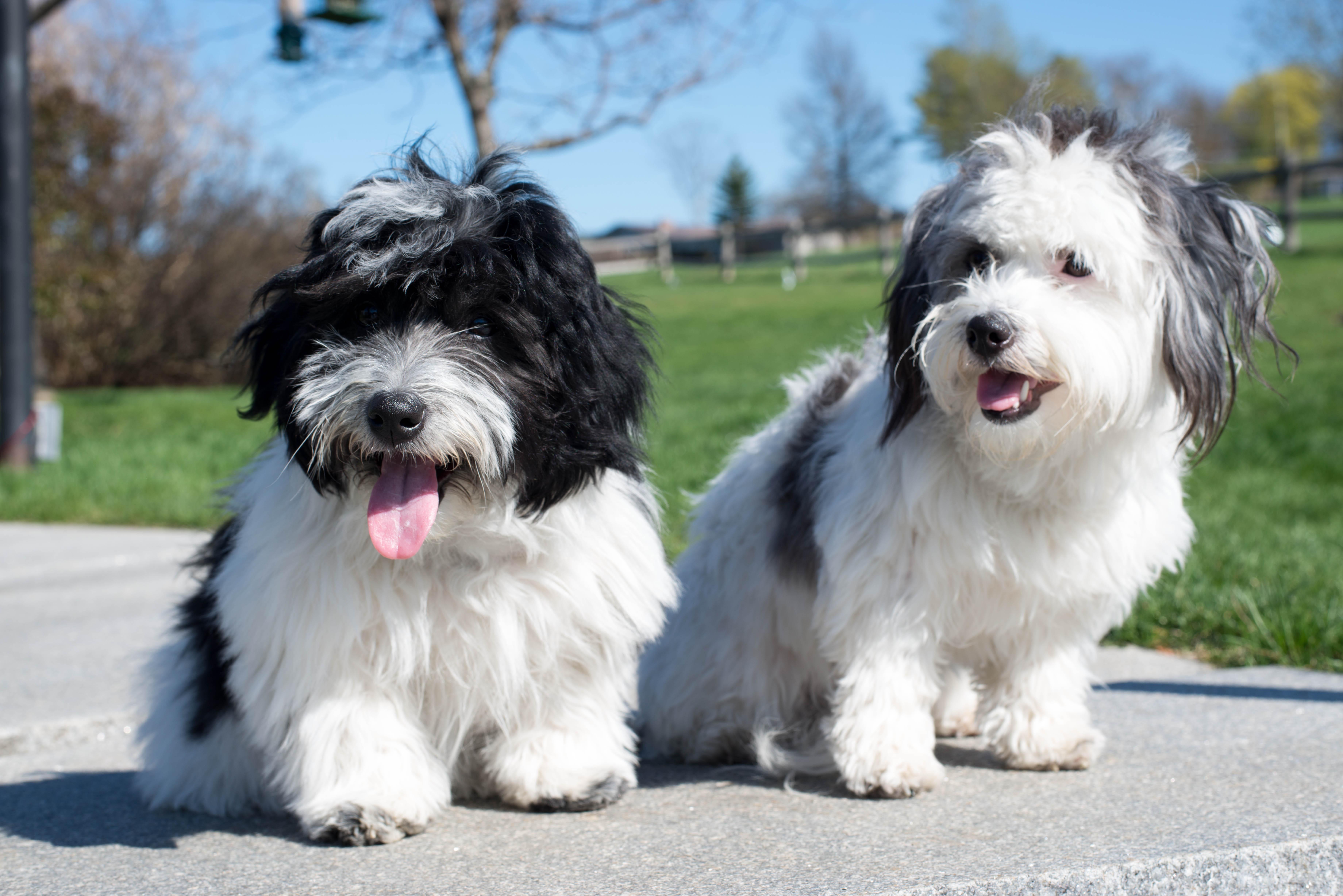 Coton Angels - Dog Breeders