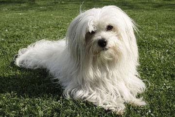 Kingsgate Cotons - Dog Breeders