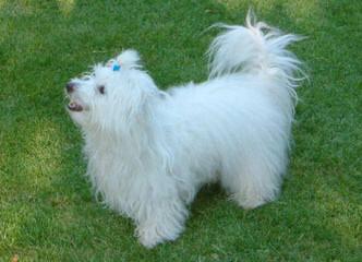 My 3 Beautiful Coton De Tulear Girls - Dog Breeders