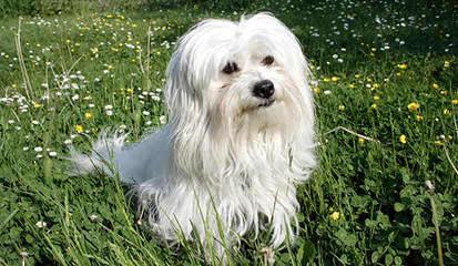 Cotton Blossom Cotons - Dog Breeders