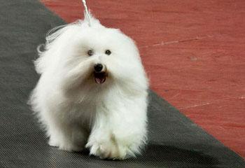 Peachtree Cotons Cotons Of Gentle Spirit - Dog Breeders