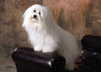 Chesterfield Coton De Tulears - Dog Breeders