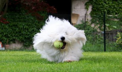 Coton Frise Pup For Sale, Rare. - Dog and Puppy Pictures
