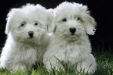 Sandcastle Coton-De-Tulear - Dog and Puppy Pictures