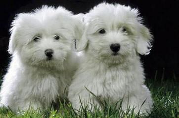 Chesterfield Coton De Tulears - Dog Breeders
