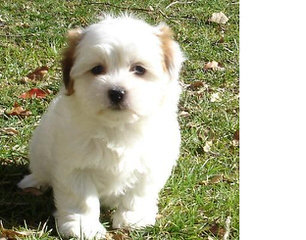 Coton Frise Pup For Sale, Rare. - Dog Breeders