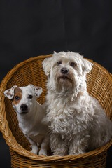 Miki +Nr1 World Coton De Tulear-Woodland.Cottage - Dog Breeders