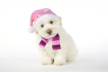 Coton De Tulear - Dog Breeders