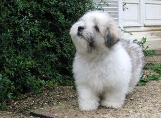 COTON DE TULEAR – Katie - Dog Breeders