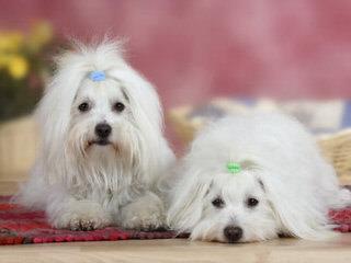 Beautiful Coton De Tulears, Havanese And Mi-Ki's - Dog Breeders