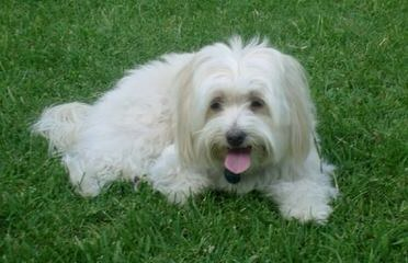 Beautiful Coton De Tulear Puppies Available - Dog Breeders
