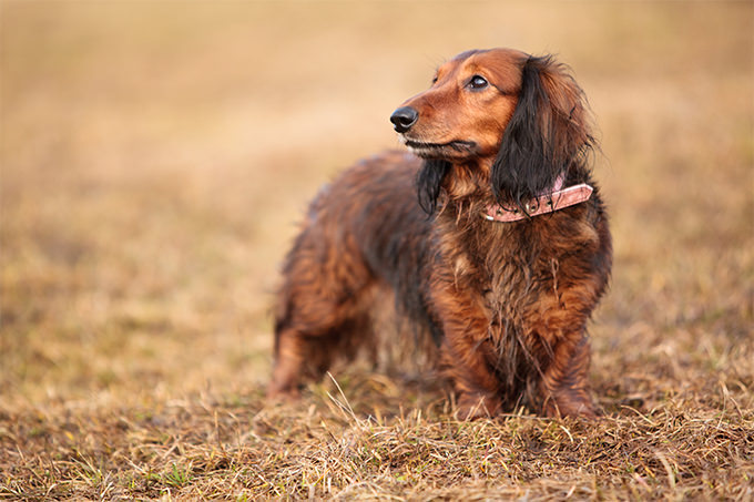 Dachshund Dogs and Puppies