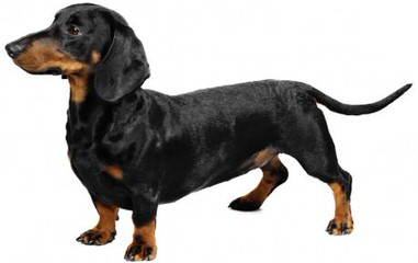 Dachshund Puppies For Sale - Dog Breeders