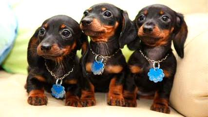 Puppies Ready Now! Many Breeds Available. - Dog Breeders