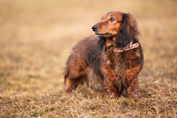 Miniature Dachshund Puppies - Dog and Puppy Pictures