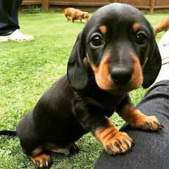 Waggin' Tails Dachshunds - Dog Breeders