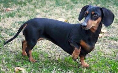 Miniature Dachshund Puppies - Dog Breeders