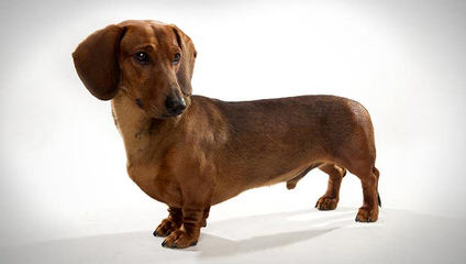 Louie's Dachshunds - Dog Breeders