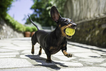 Mini Dachshund Puppies - Dog Breeders