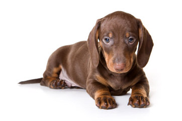 Dachshunds - Dog Breeders
