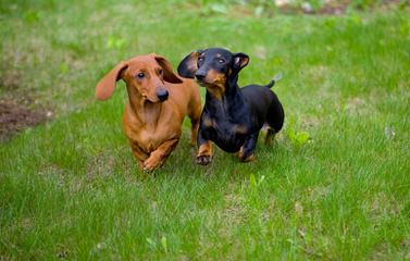 McCoy's Precious Doxies - Dog Breeders