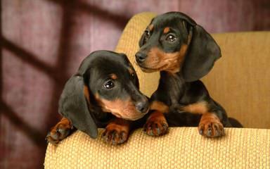 Mini Dachshunds & Cockabichons - Dog Breeders