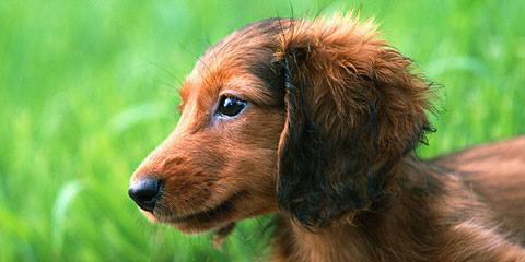 Mini-Dachshund Pups - Dog Breeders