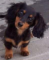 Alta Dachchshunds - Dog Breeders