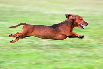 S & D Darling Dachshunds - Dog Breeders