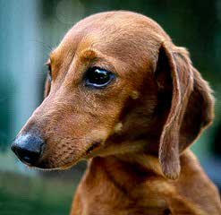 Knauerhaus Dachshunds - Dog Breeders