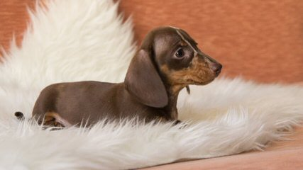 Male Dachshund For Breeding - Dog Breeders