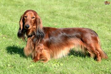 Sparkxx Lil Doxies - Dog Breeders