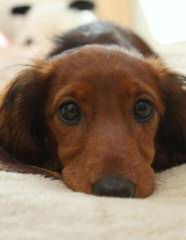 McCoy's Precious Doxies - Dog and Puppy Pictures