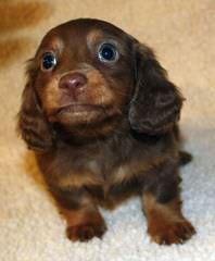 Ckc Registered Miniature Dachshunds - Dog Breeders