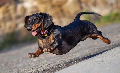 Akc Mini-Dachshund Puppies - Dog Breeders