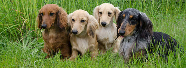 Doxie Lovers - Dog Breeders
