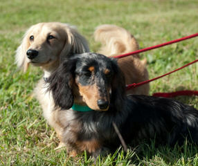 Ponderosa Dachshunds - Dog Breeders