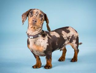 Miniature Dachshund Puppies - Dog Breeders