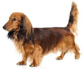 Dashshund Puppys For Sale - Dog Breeders