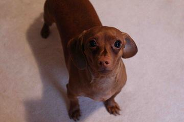 Hotdog Dachshund Kennels - Dog Breeders