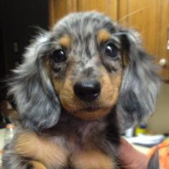 Ckc Registered Miniature Dachshunds - Dog Breeders