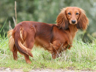 Three D's Miniature Dachshunds - Dog Breeders