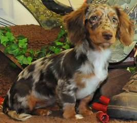 Akc Mini Dachshund Pups For Sale - Dog Breeders