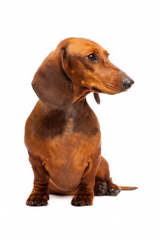 Legend's Dachshunds - Dog Breeders